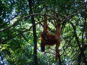 One of the orang-utans showing off to a gaping public