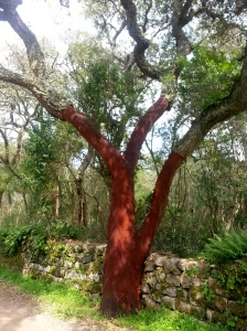A cork oak. The red part is what has been left over after the bark has been sliced off for cork